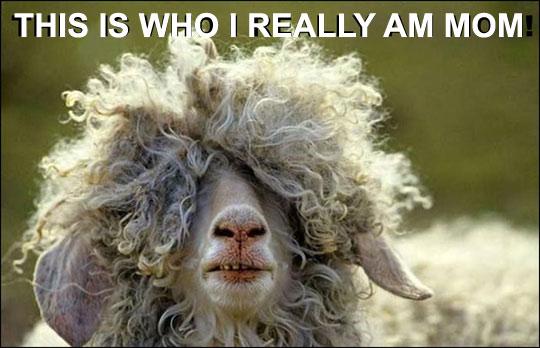 funny-sheep-long-hair