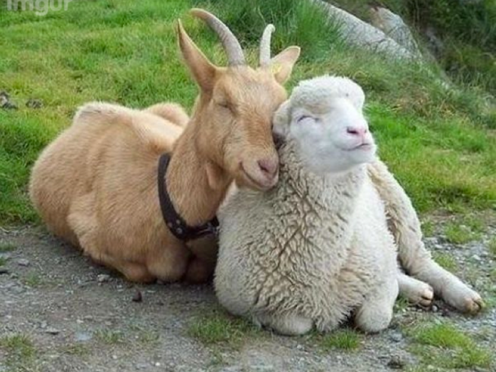 goat-and-sheep-friends